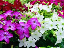 Flori  pentru case si gradini  225x169_019084-regina-noptii