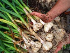 Planteaza usturoi toamna, pentru o recolta bogata