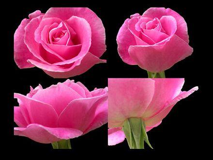 56. Gönülçelen -Inima furata - Heart Stealer - General Discussions - Comentarii - Pagina 39 440x330_069261-trandafir-de-damasc
