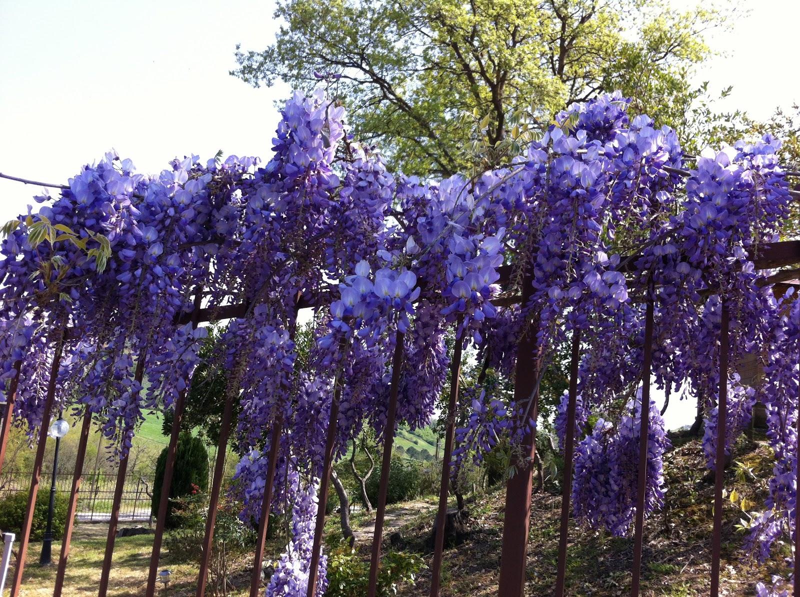 Frumoase dar otravitoare 7 plante decorative periculoase for Glicina planta