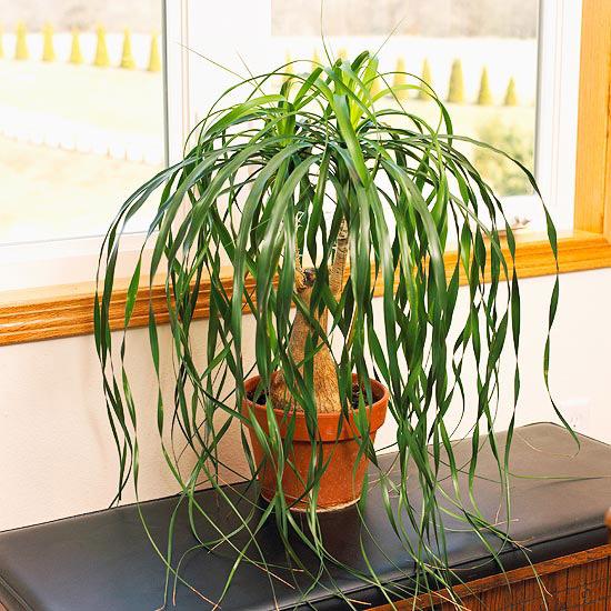 4 plante de apartament care nu se usuca atunci cand le for Ponytail palm cats