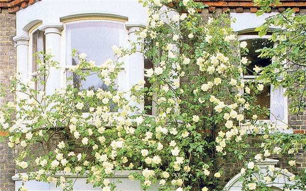 how to grow rose plants at home in melbourne