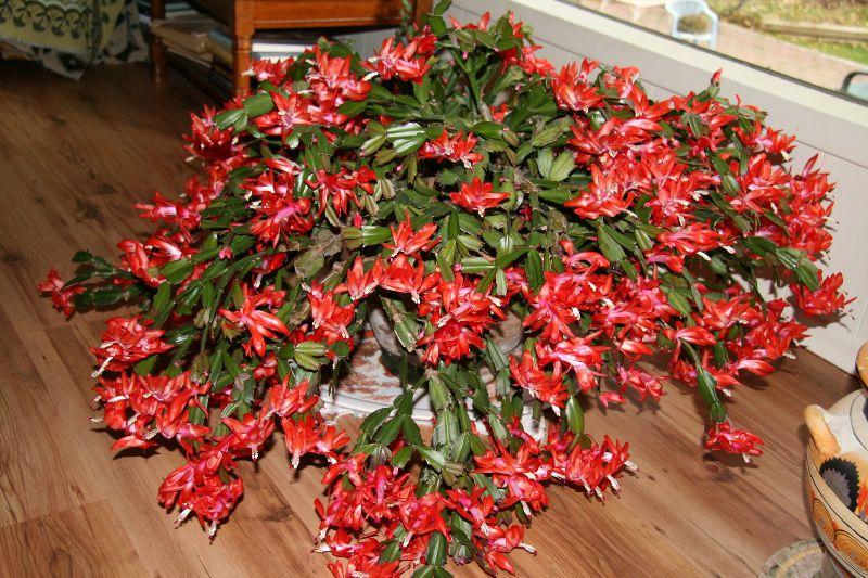 Imagini pentru 3 plante de apartament pe care trebuie sa le ai in casa de Craciun