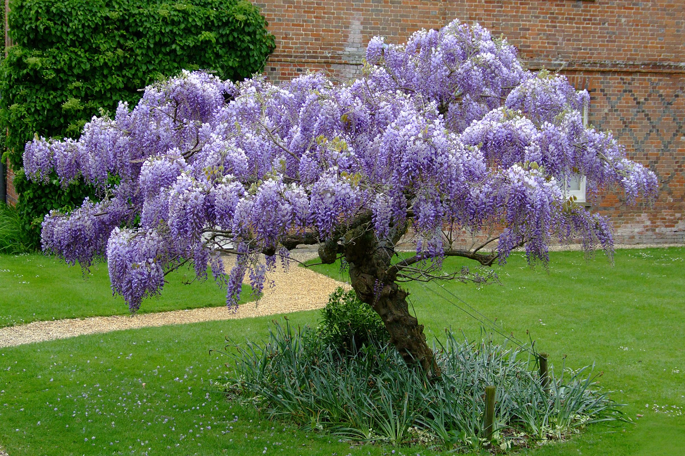 Arbusti ornamentali cu flori pentru gradini de poveste for Arbusti ornamentali